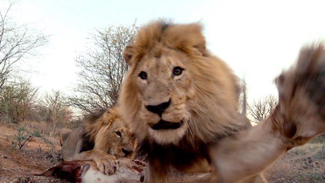 drone vs lion